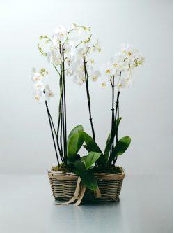 Centro de orquídea blanca de tres ramas